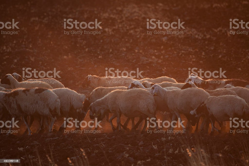 Sheep herd in drought stock photo