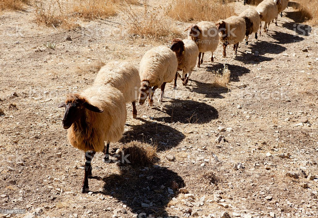 Sheep herd in drought walking in line and repetition stock photo