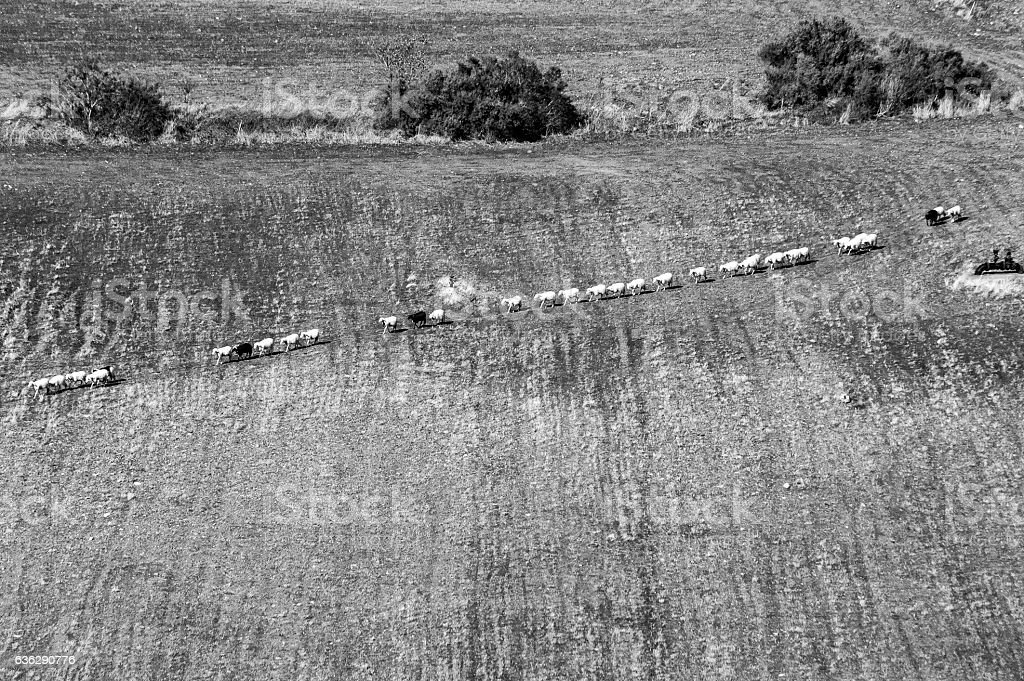 Sheep herd in line. Black and White. stock photo