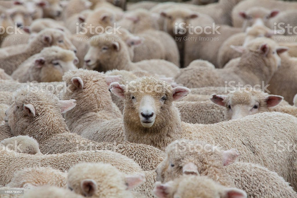 Sheep Herd in New Zealand 2 stock photo