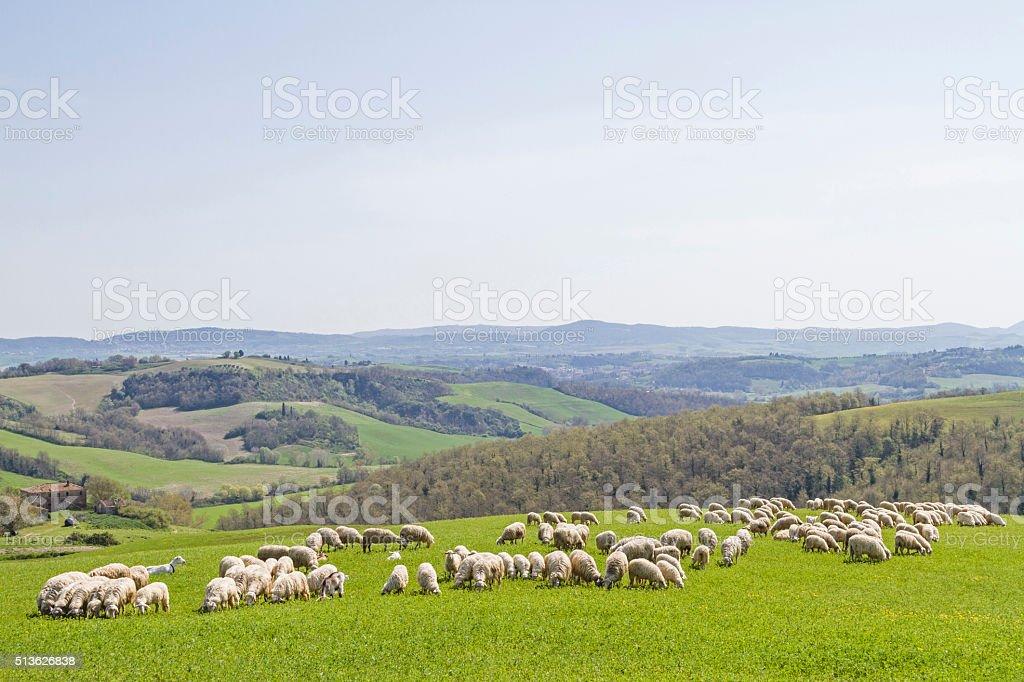 sheep herd in Tuscany stock photo