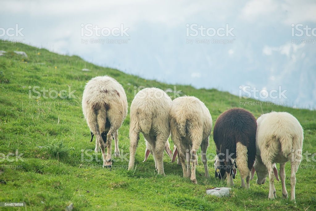 sheep herd on mountain meadow stock photo
