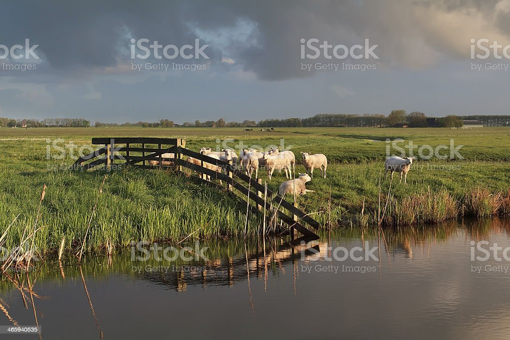 sheep herd on pasture by river royalty-free stock photo