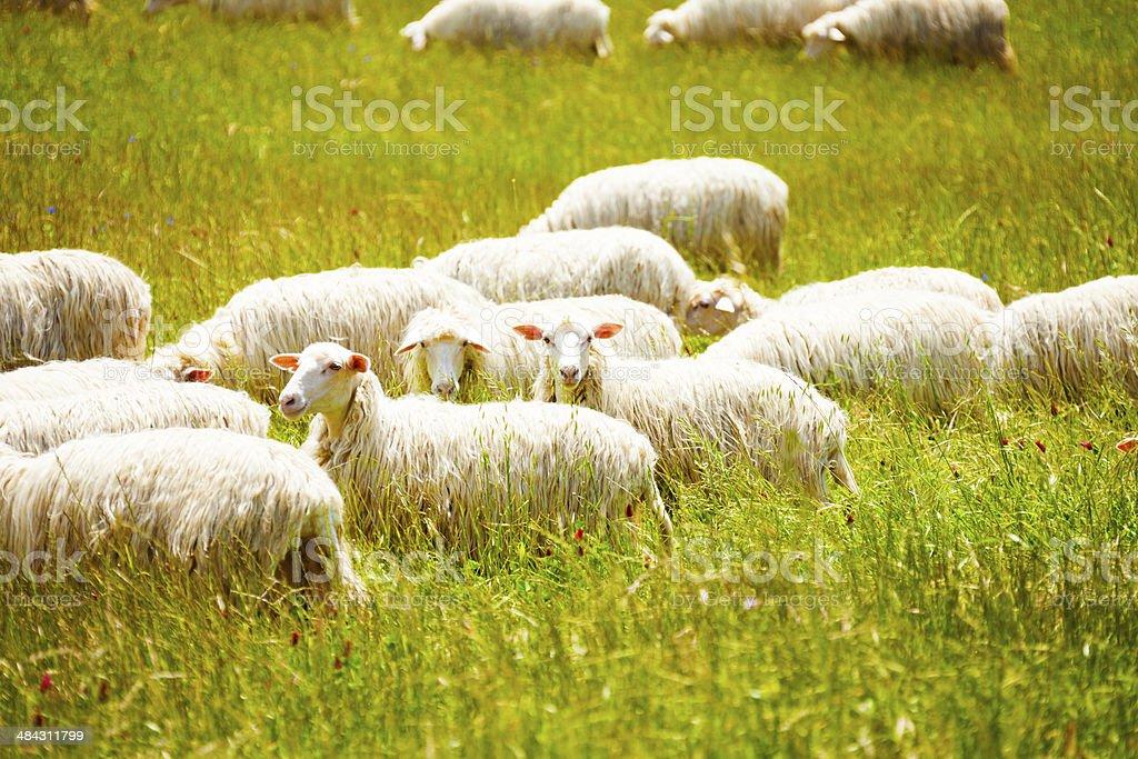 Sheep herd on the farm royalty-free stock photo