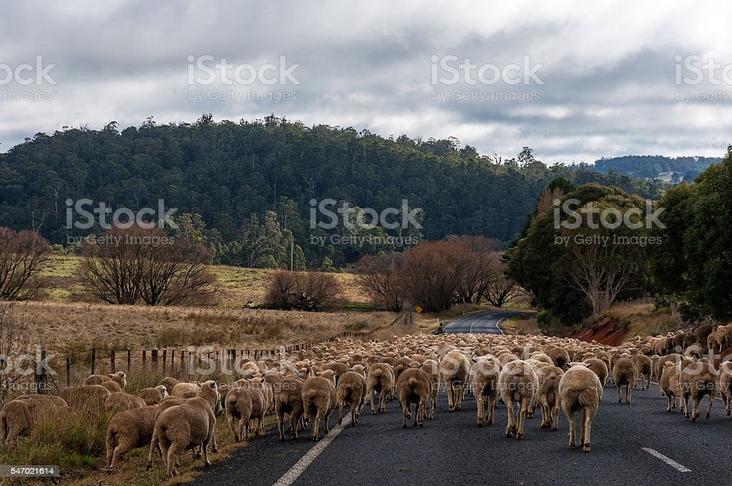 Sheep herd on the road stock photo
