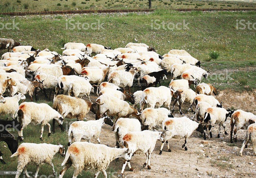 Sheep Herd royalty-free stock photo