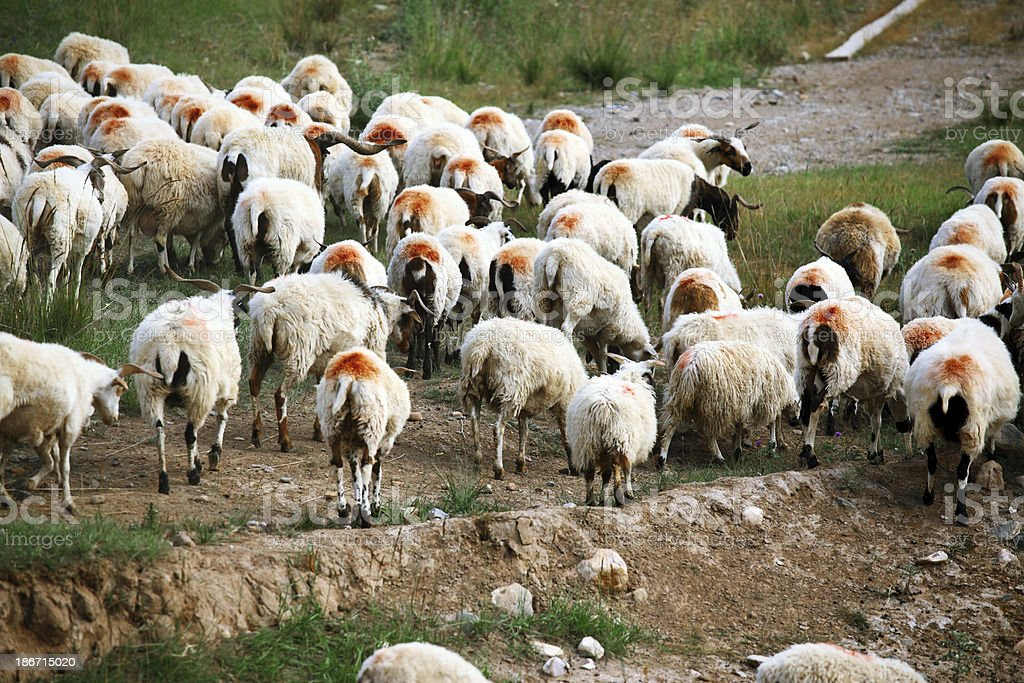 Sheep Herd royalty-free stock photo