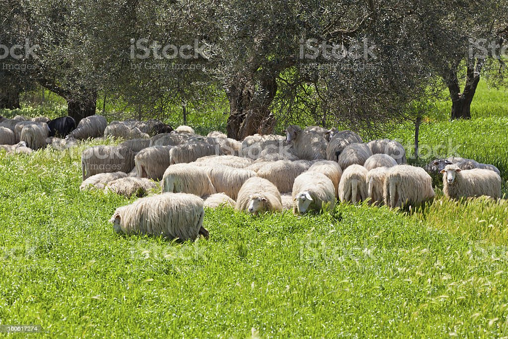 Sheep Herd Resting in the Olive Tree Shadow royalty-free stock photo