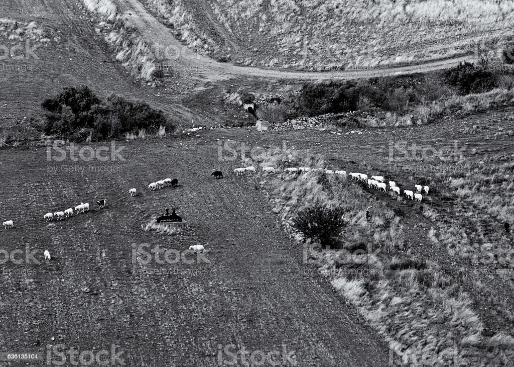 Sheep herd walking in line. Black and White. stock photo
