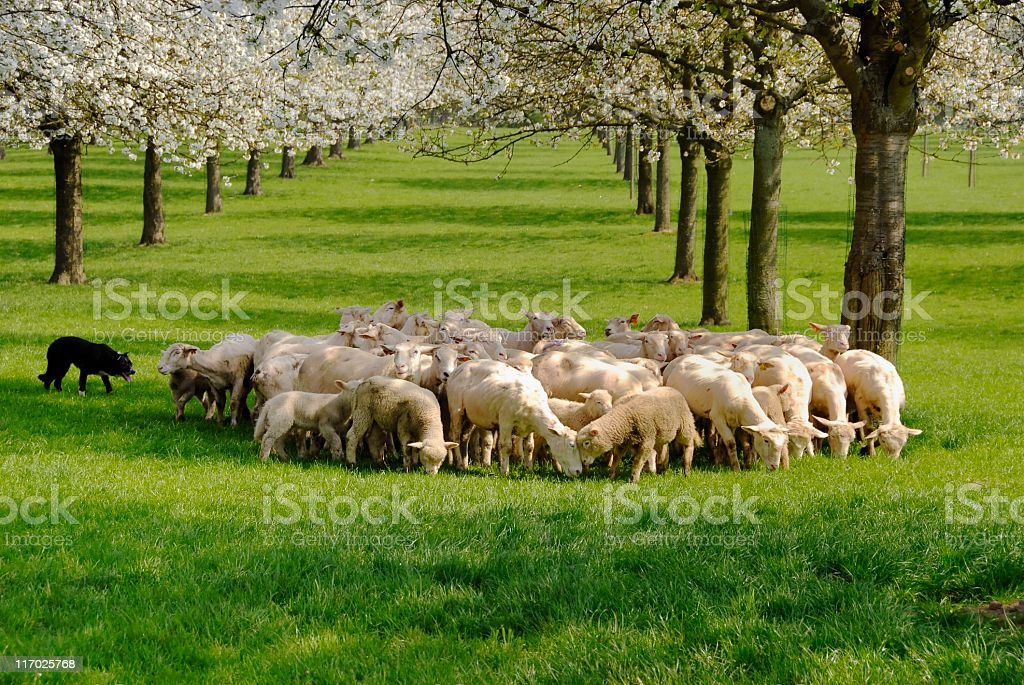 Sheep herded by a border collie stock photo