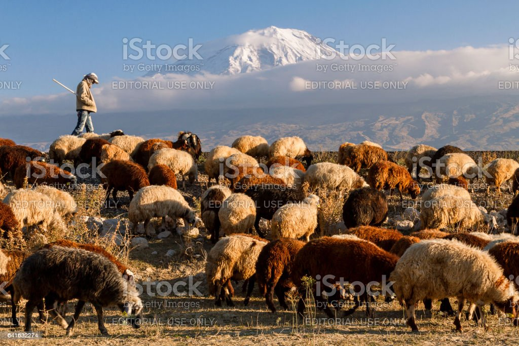 Dogubayazit, Turkey - October 25, 2014: Sheep herder and his flock with the Mount Ararat in the background in Dogubayazit, Turkey. stock photo