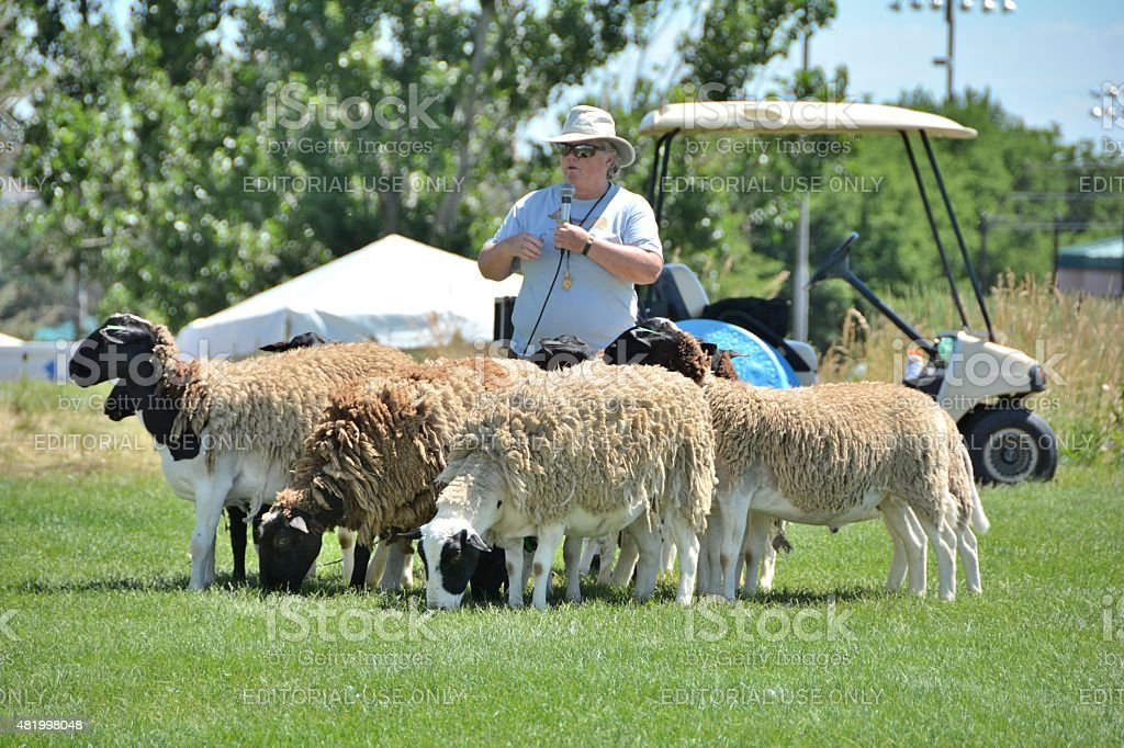 Sheep Herding Demonstration at the Colorado Irish festival stock photo