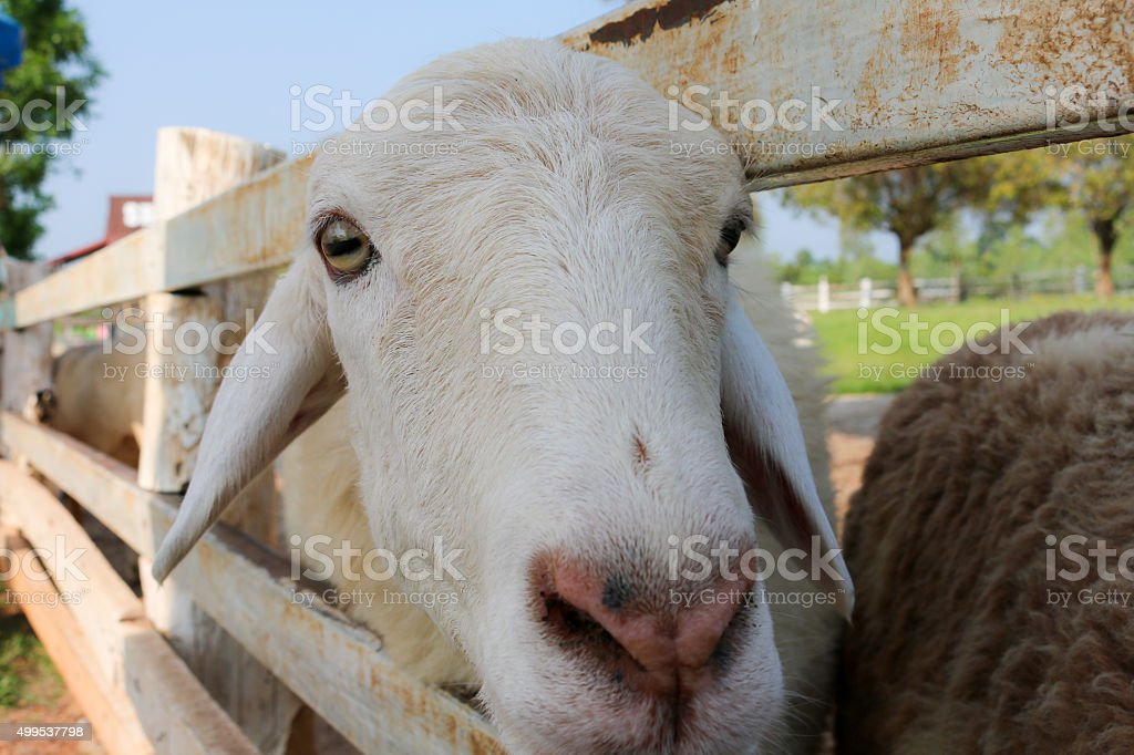 Sheep in a cage stock photo