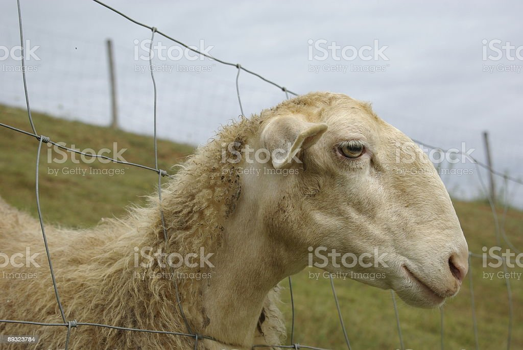 Sheep in a fence stock photo