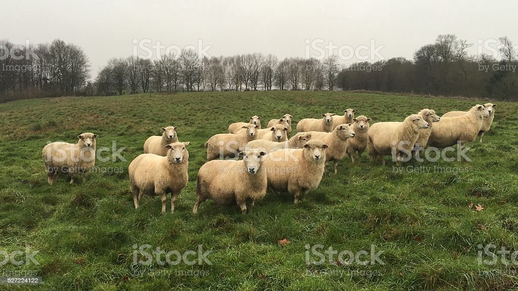 Sheep in a field stock photo