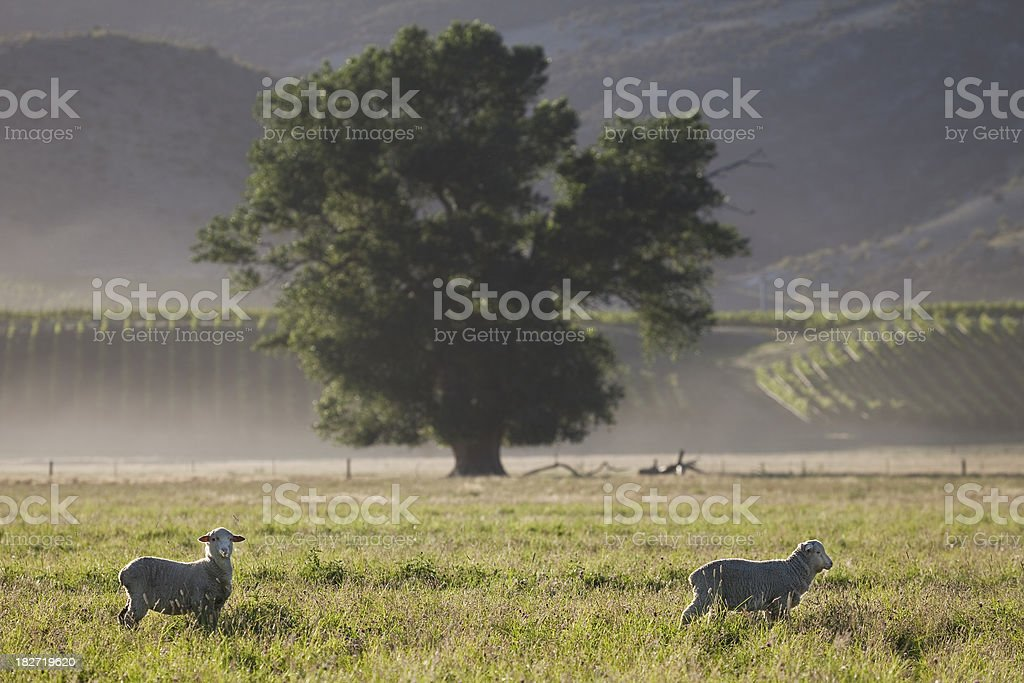 Sheep in a field with big tree as background royalty-free stock photo