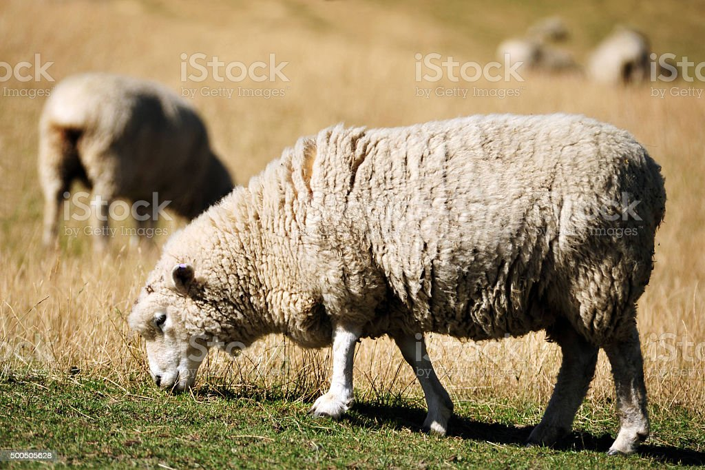 Sheep in a Green Field stock photo