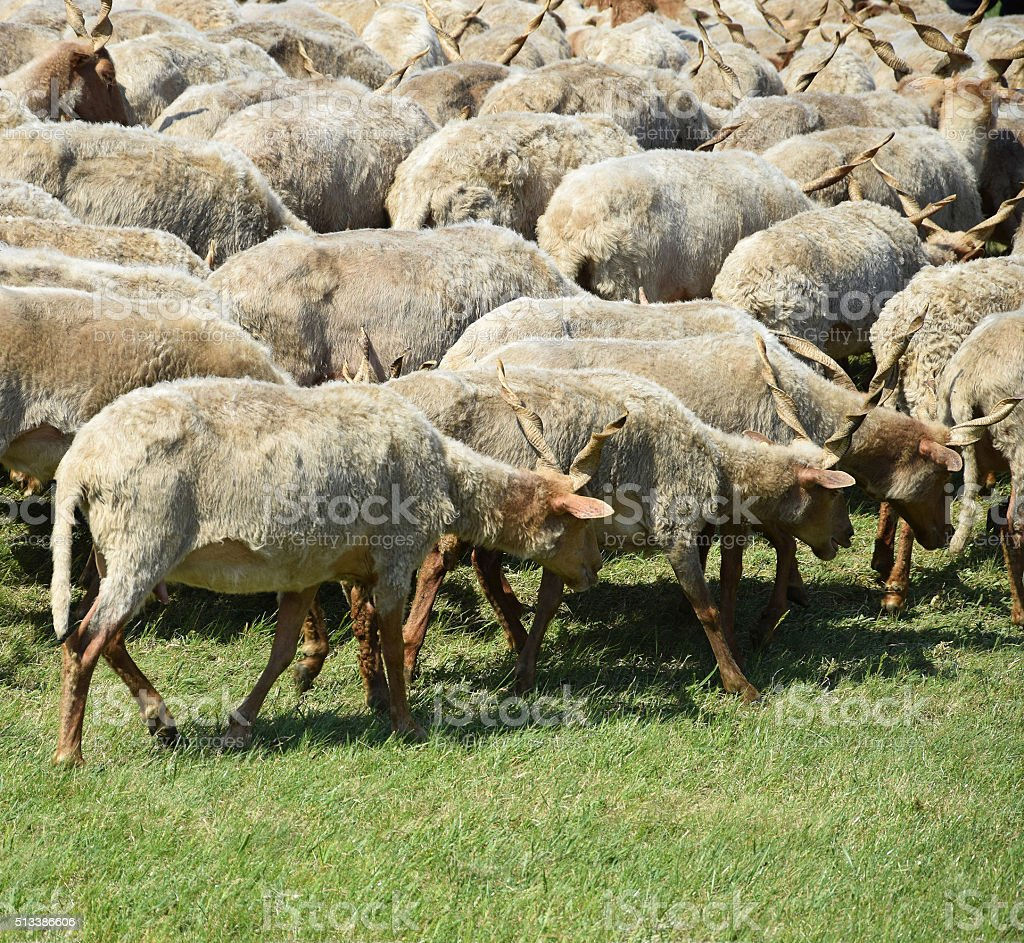 Sheep in a group stock photo