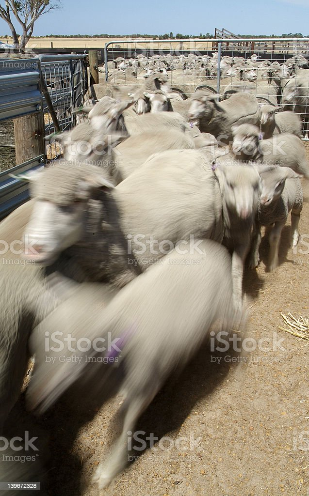 Sheep in a holding pen. royalty-free stock photo