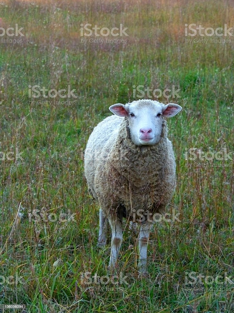 sheep in a meadow royalty-free stock photo