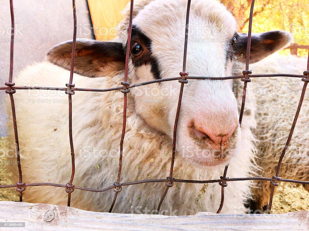 Sheep in a pen stock photo