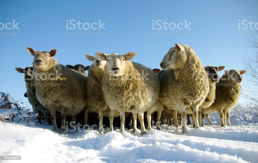 Sheep in a winter landsdcape stock photo