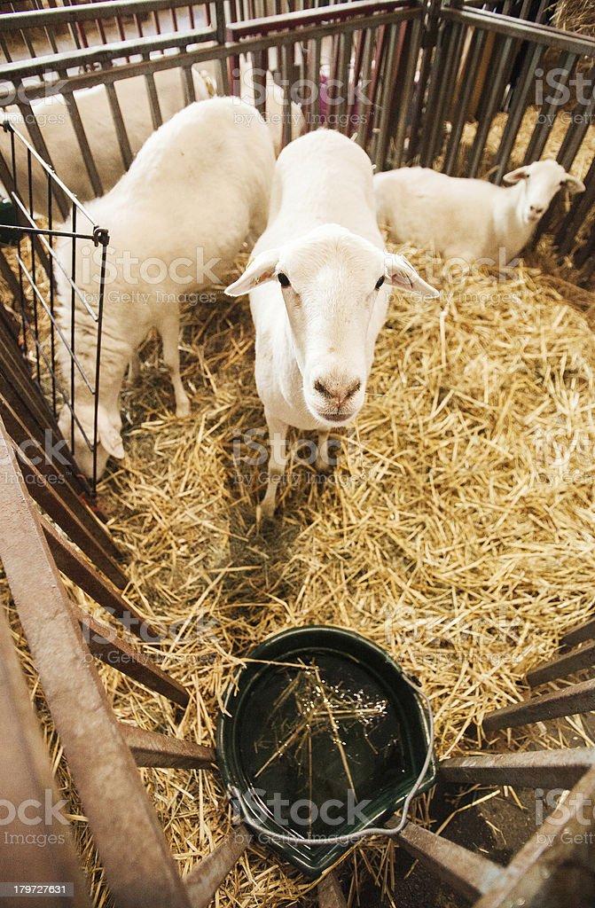 Sheep in an Enclosure royalty-free stock photo