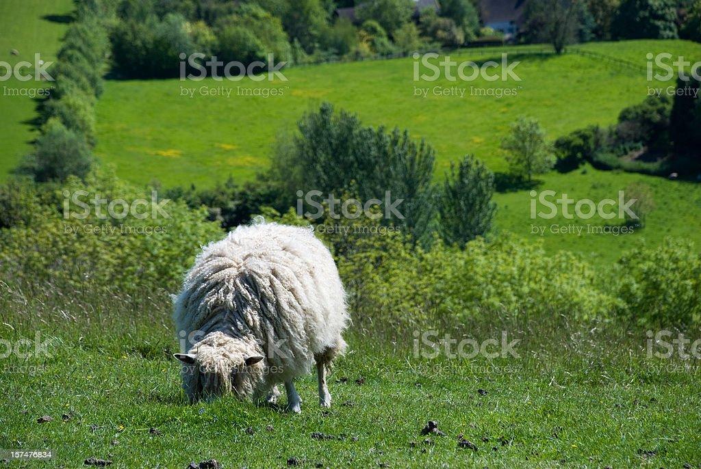 Sheep in an English field stock photo