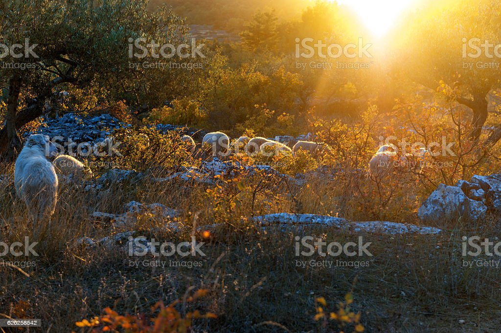Sheep in an olive grove, sunset,Brac Island, Croatia,Europe stock photo