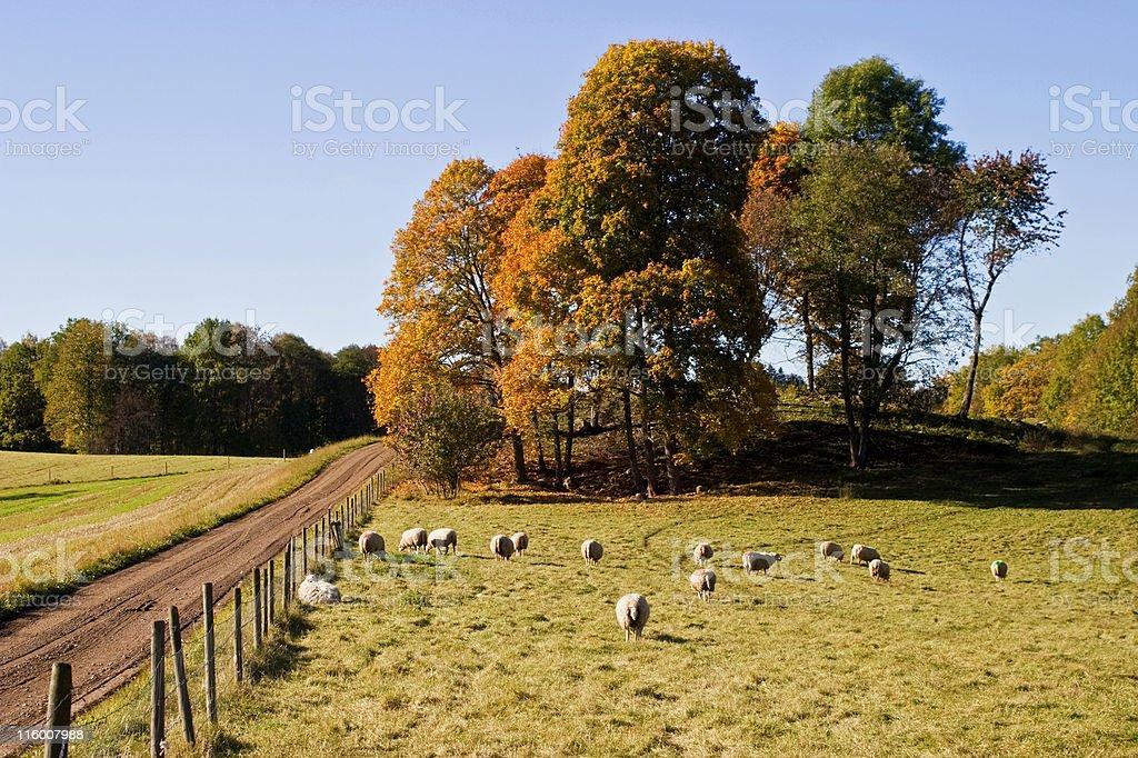 Sheep in autmn landscape royalty-free stock photo