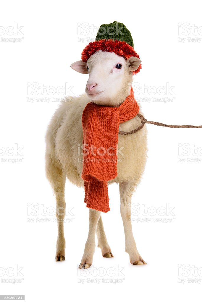 [Image: sheep-in-christmas-clothes-picture-id530362231]