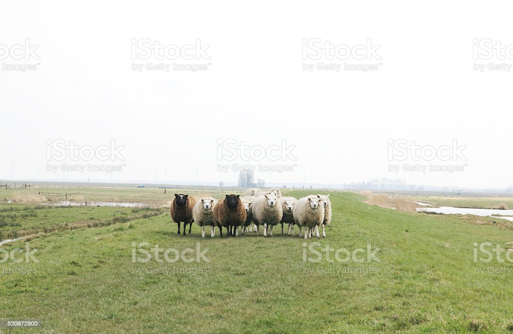Sheep in Eempolders (the Netherlands) stock photo