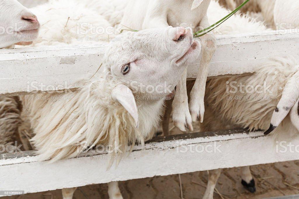 sheep in farm at Swizz Sheep Farm,Cha Am,Thailand stock photo