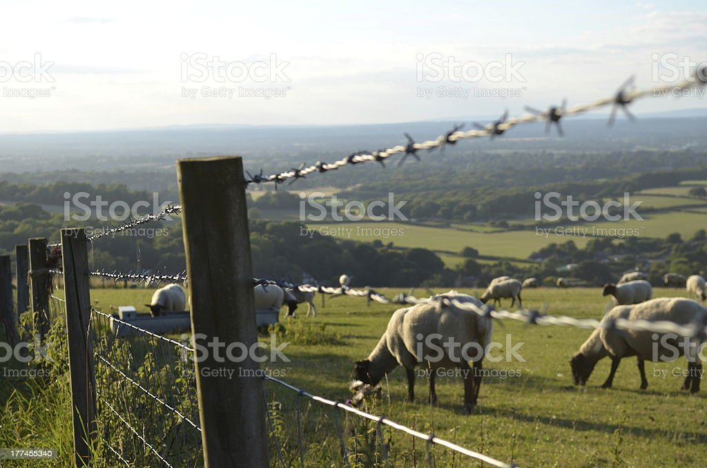 Sheep in fenced field. royalty-free stock photo