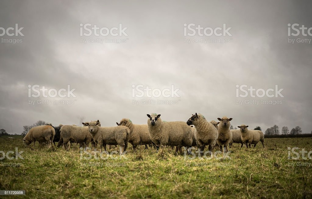 Sheep in Field stock photo