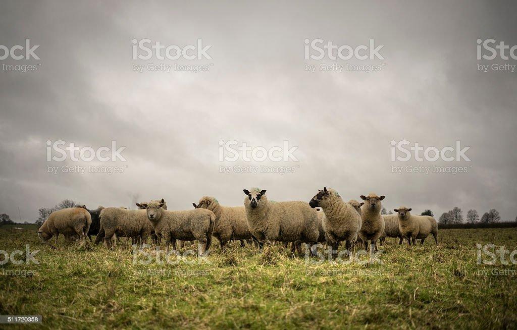 Sheep in Field stock photo