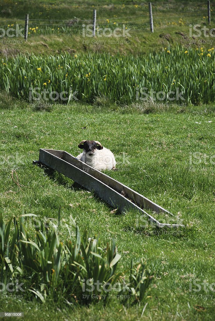 Sheep in Field royalty-free stock photo
