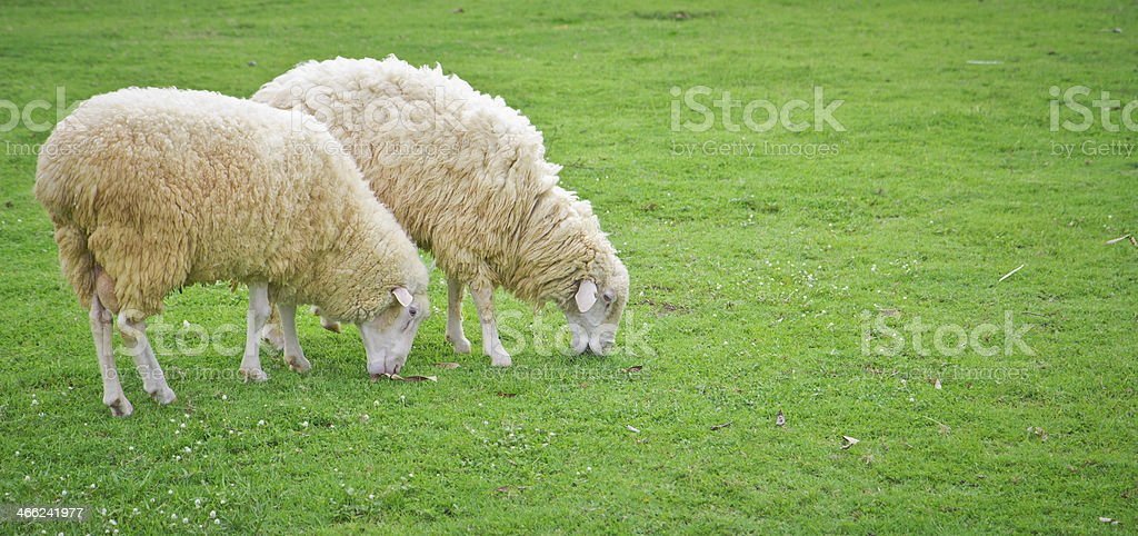 sheep in green field farm royalty-free stock photo