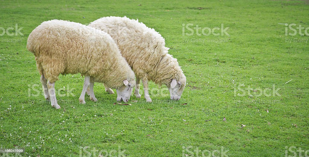 sheep in green field farm royalty-free stock photo