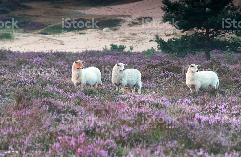 sheep in heather flowers stock photo