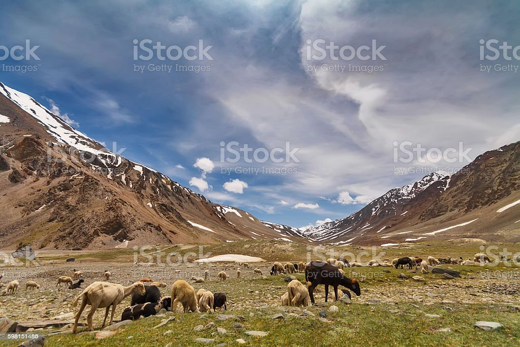Sheep in Himalayan mountains stock photo