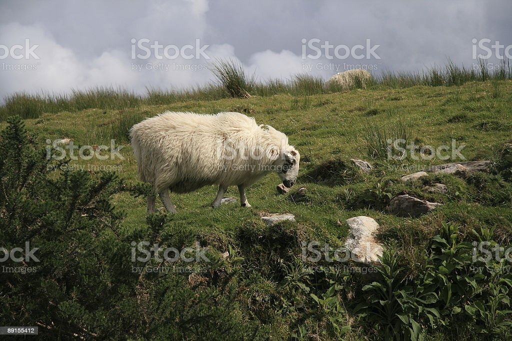 Sheep in Ireland stock photo