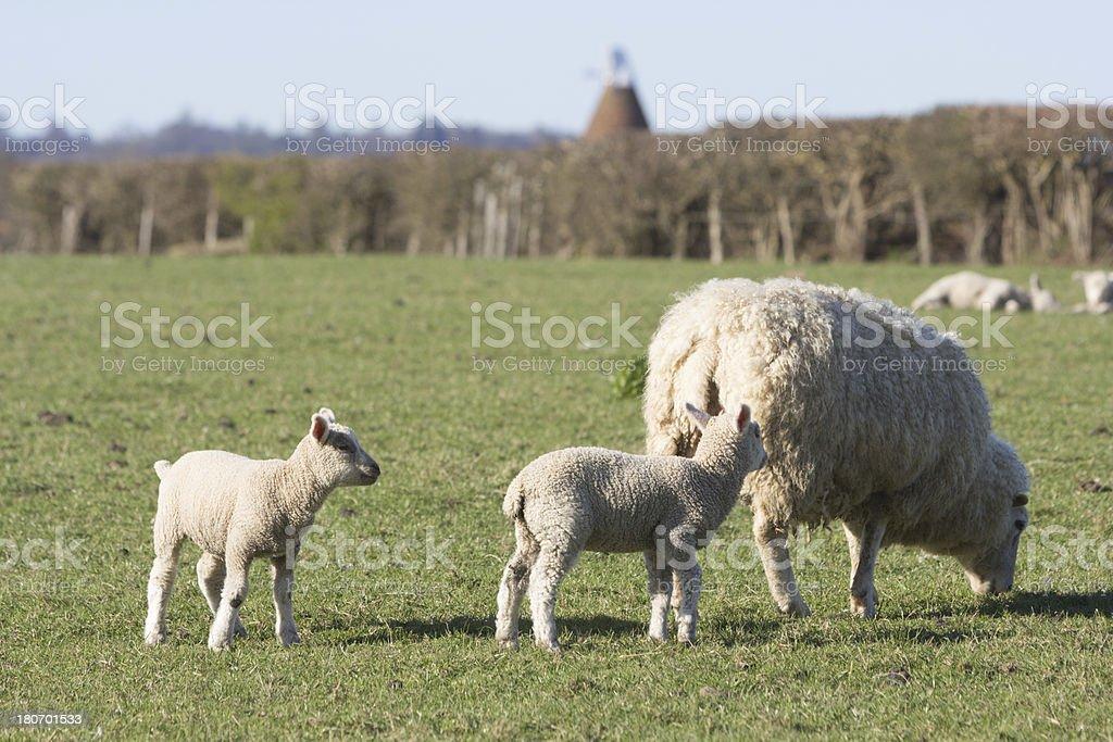 Sheep in Kent, England stock photo