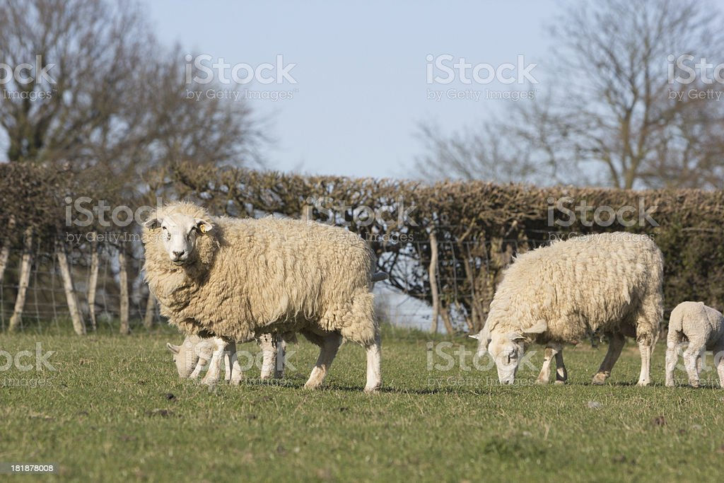 Sheep in Kent, England royalty-free stock photo
