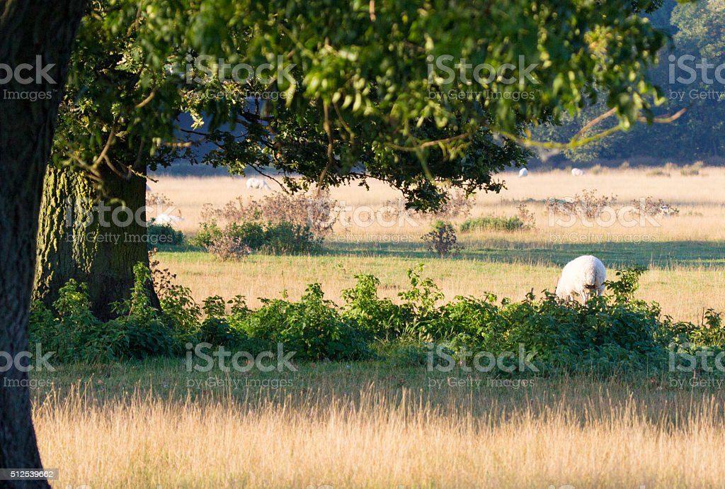 Sheep in Kent, England stock photo