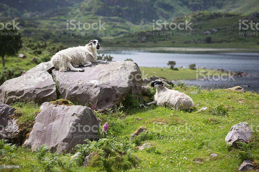 Sheep in Killarney National Park, Kerry, Ireland stock photo