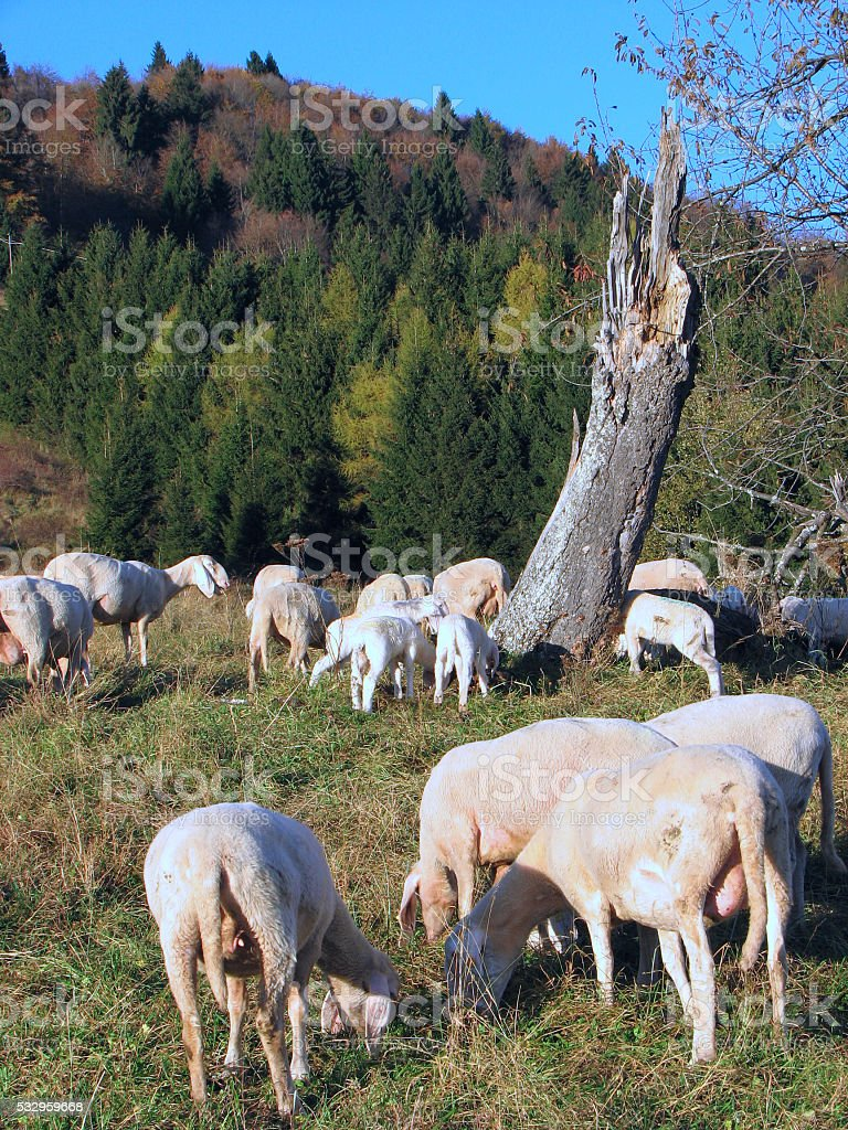 sheep in large flocks grazing in the mountains stock photo