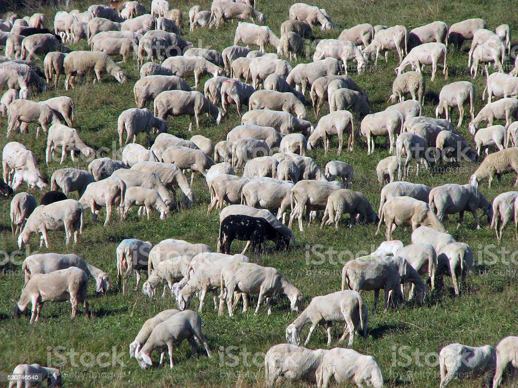 sheep in large flocks grazing stock photo