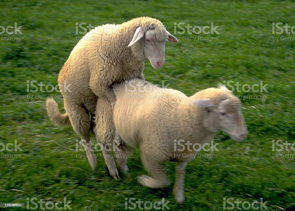 Sheep in love royalty-free stock photo