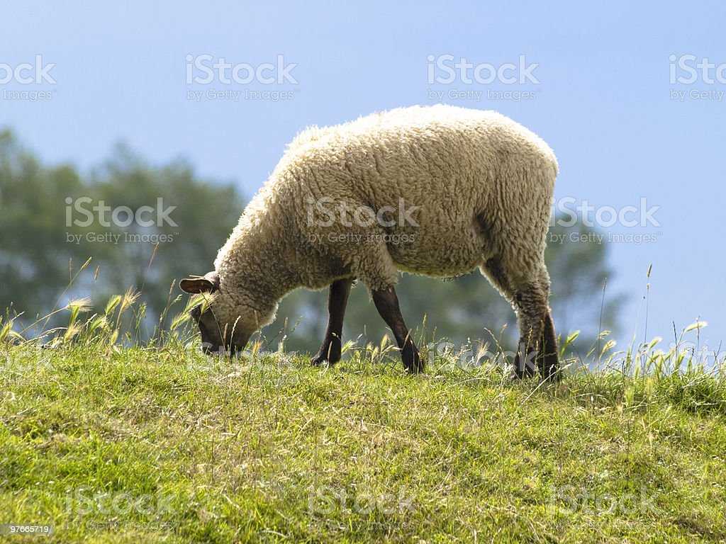 Sheep in meadow royalty-free stock photo